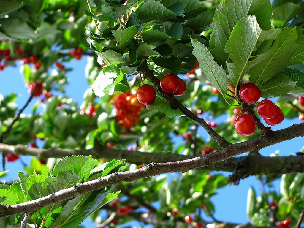 Cerises rouges dans cerisier fabriqémoi